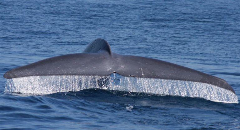 Калейдоскоп, Синие киты вернулись в Баренцево море | Синие киты вернулись в Баренцево море