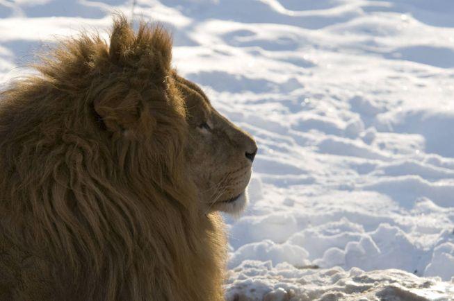 Общество, Датский зоопарк приглашает детей на вскрытие льва | Датский зоопарк приглашает детей на вскрытие льва