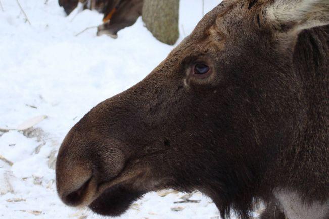 Калейдоскоп, На севере Норвегии в зоопарке застрелили двух лосей | На севере Норвегии в зоопарке застрелили двух лосей