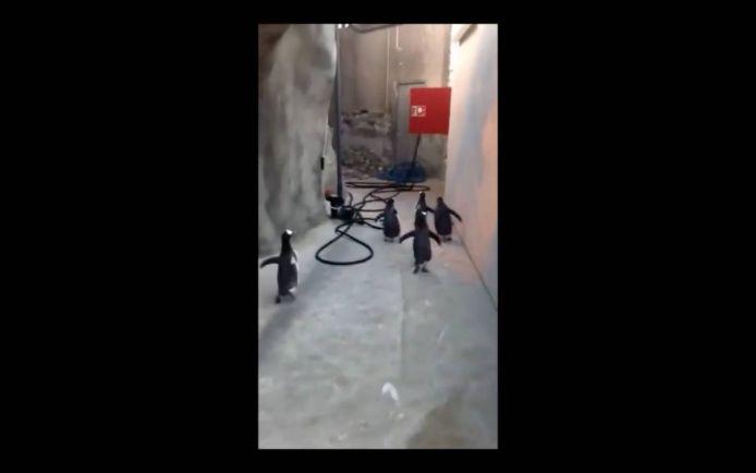 Калейдоскоп, Группу пингвинов поймали при попытке сбежать из датского зоопарка   Группу пингвинов поймали при попытке сбежать из датского зоопарка