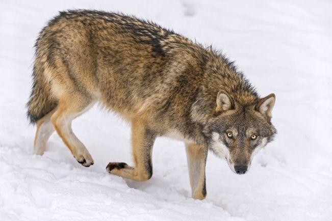 Калейдоскоп, В датском детском саду заблудился волк   В датском детском саду заблудился волк