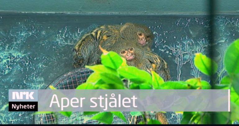 Калейдоскоп, Украденных из зоопарка в Осло обезьян вернули целыми и невредимыми | Украденных из зоопарка в Осло обезьян вернули целыми и невредимыми