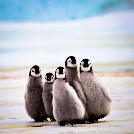 Калейдоскоп, Четверых норвежских студентов обвиняют в краже трёх пингвинов | Четверых норвежских студентов обвиняют в краже трёх пингвинов