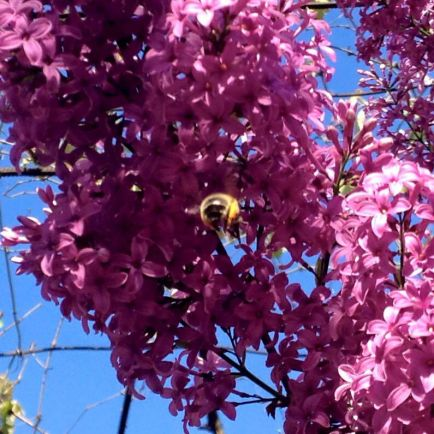 Калейдоскоп, Датские пчелы в опасности | Датские пчелы в опасности