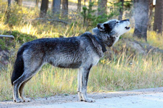 Калейдоскоп, В пригороде Осло объявлена охота на волков |