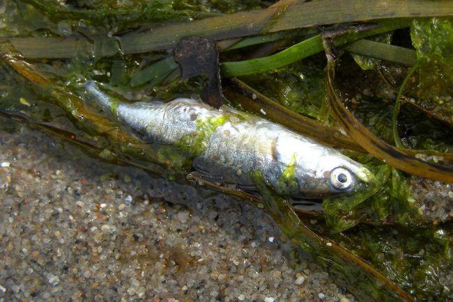 Калейдоскоп, В Балтийском море расплодились токсичные водоросли |