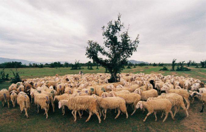 Калейдоскоп, В Норвегии расследуют таинственное похищение овец |