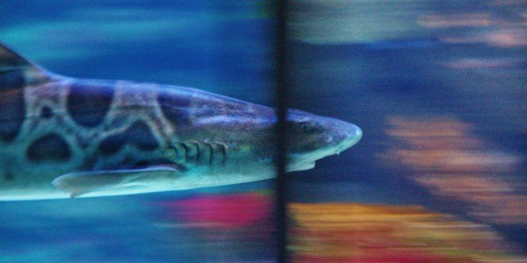 Калейдоскоп, Балтика рискует остаться без акул | Балтика рискует остаться без акул
