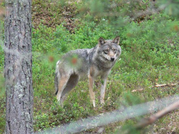 Калейдоскоп, Волк испортил норвежцу партию в гольф | Волк испортил норвежцу партию в гольф