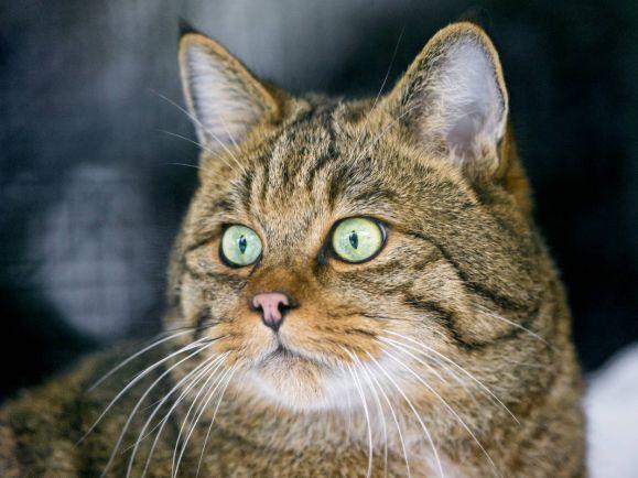 Калейдоскоп, Норвежским котам угрожает СПИД | Норвежским котам угрожает СПИД