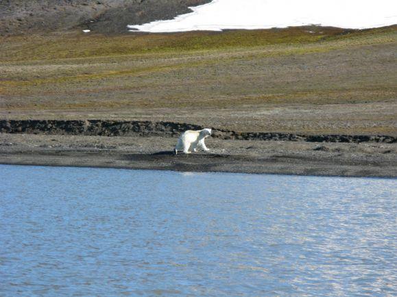 Калейдоскоп, Глобальное потепление вынуждает белых медведей ставить рекорды | Глобальное потепление вынуждает белых медведей ставить рекорды