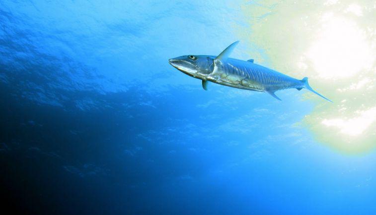 Калейдоскоп, В водах Норвегии появилась рыба из Средиземноморья | В водах Норвегии появилась рыба из Средиземноморья