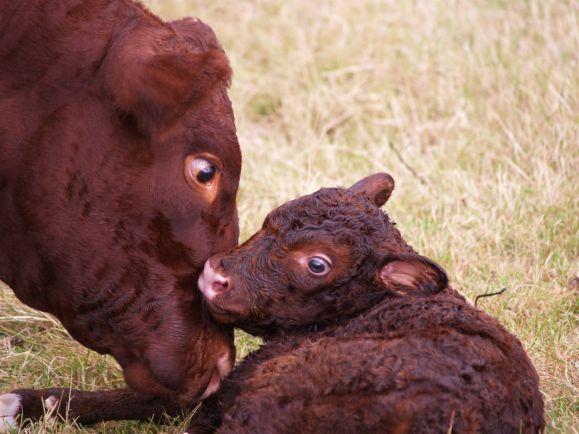 Калейдоскоп, Норвежскую корову-убийцу отправят на бойню | Норвежскую корову-убийцу отправят на бойню