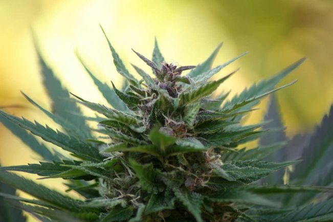 Общество, Датчане попробуют лечебную марихуану | Датчане попробуют лечебную марихуану