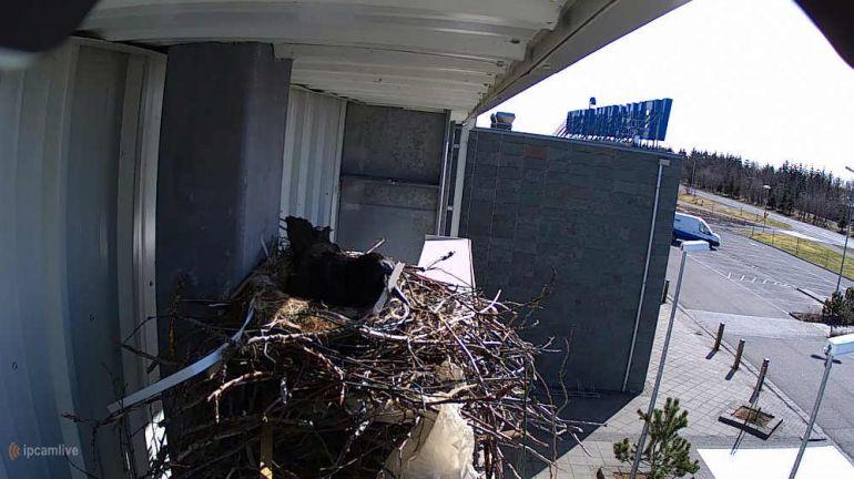 Калейдоскоп, В интернете запустили прямую трансляцию из гнезда исландского ворона | В интернете запустили прямую трансляцию из гнезда исландского ворона