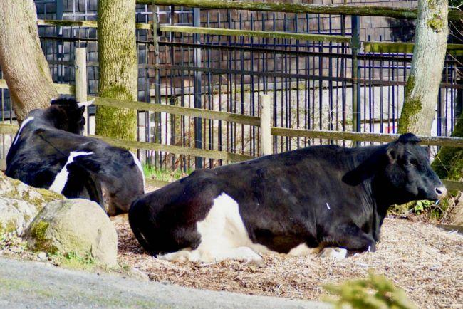 Калейдоскоп, 170 000 шведов примут участие в «дне освобождения коров» | 170 000 шведов примут участие в «дне освобождения коров»